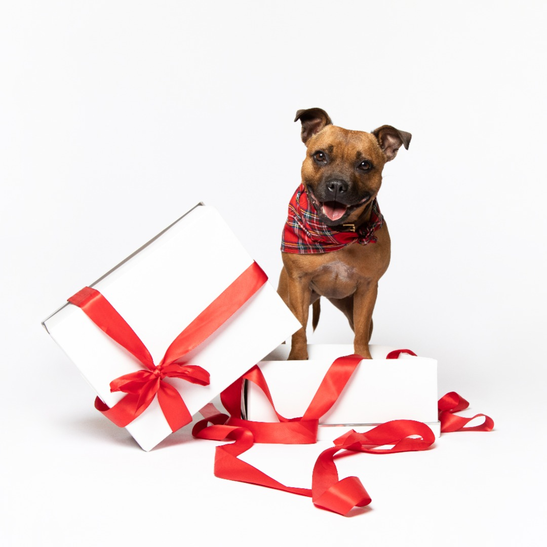 Popularity of Sharing Christmas Joy with Dogs Soars
