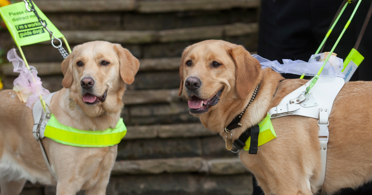Optician's guide dog  pup is in training